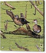 Wood Duck Acrylic Print