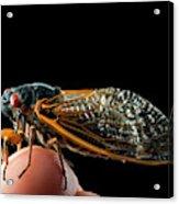 A Detailed View Of A Brood II Cicada Acrylic Print