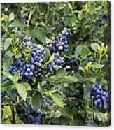 Blueberry Bush Acrylic Print