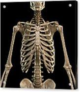 Bones Of The Upper Body Acrylic Print