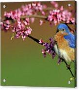 Eastern Bluebird (sialia Sialis Acrylic Print