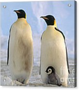 Emperor Penguins Acrylic Print by Art Wolfe