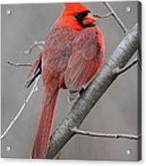 Male Northern Cardinal Acrylic Print