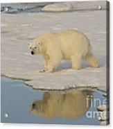 Polar Bear Walking On Ice Acrylic Print