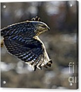 Rough-legged Hawk Acrylic Print