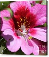 Schizanthus From The Hit Parade Mix Acrylic Print