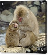 Snow Monkeys Acrylic Print