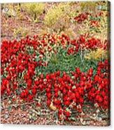 Sturt's Desert Pea Outback South Australia Acrylic Print