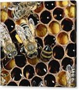Honey Bees On Honeycomb Acrylic Print