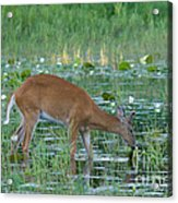 White-tailed Buck Acrylic Print by Linda Freshwaters Arndt