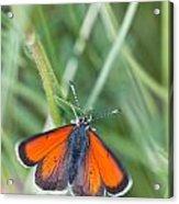 12 Balkan Copper Butterfly Acrylic Print