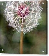 Dandelion Seed Head Acrylic Print