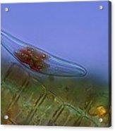 Diatoms, Light Micrograph Acrylic Print