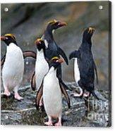 Macaroni Penguin Acrylic Print