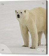 Polar Bear Walking On Ice Acrylic Print