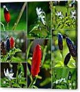 Red Chilli Pepper Acrylic Print