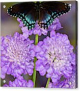 Red-spotted Purple Butterfly, Limenitis Acrylic Print