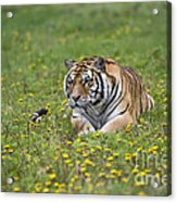 Siberian Tiger, China Acrylic Print