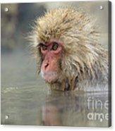 Snow Monkeys Acrylic Print