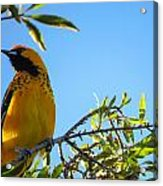 Spot Breasted Oriole Acrylic Print