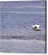 Whooper Swan Acrylic Print