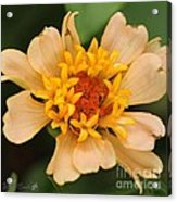 Zinnia From The Candy Mix Acrylic Print