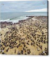 Cape Cross, Namibia, Africa - Cape Fur Acrylic Print