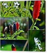 Red Chilli Pepper Acrylic Print