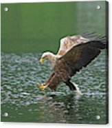 White-tailed Sea Eagle In Norway Acrylic Print