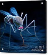 Anopheles Mosquito Acrylic Print