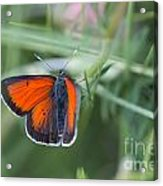 14 Balkan Copper Butterfly Acrylic Print