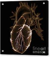 Coronary Blood Supply Acrylic Print