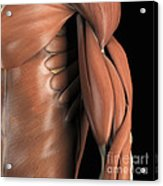 The Muscle System Acrylic Print