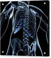 Male Skeleton Acrylic Print