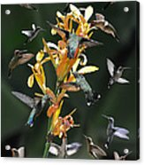 15 Hummingbirds Acrylic Print