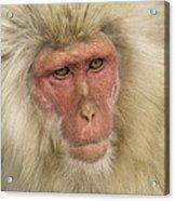 Snow Monkey, Japan Acrylic Print