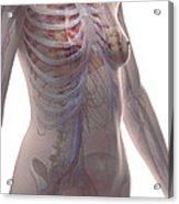 The Cardiovascular System Female Acrylic Print