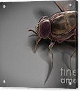 Tsetse Fly Acrylic Print