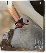 Black-browed Albatross Acrylic Print