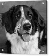 Portrait Of A Border Collie Mix Dog Acrylic Print