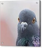 Rock Dove Acrylic Print