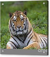 Siberian Tiger, China Acrylic Print