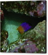 Tropical Fish Acrylic Print