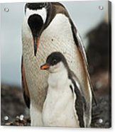 Gentoo Penguin With Young Acrylic Print