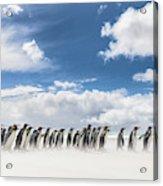 King Penguin (aptenodytes Patagonicus Acrylic Print