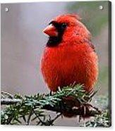 Northern Cardinal Male Acrylic Print by Dan Ferrin