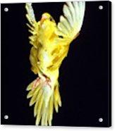Perruche Ondulee Melopsittacus Undulatus Acrylic Print