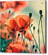 Poppy Meadow Acrylic Print
