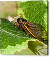 17 Year Cicada 2 Acrylic Print