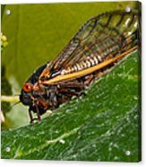17 Year Cicada 3 Acrylic Print by Lara Ellis